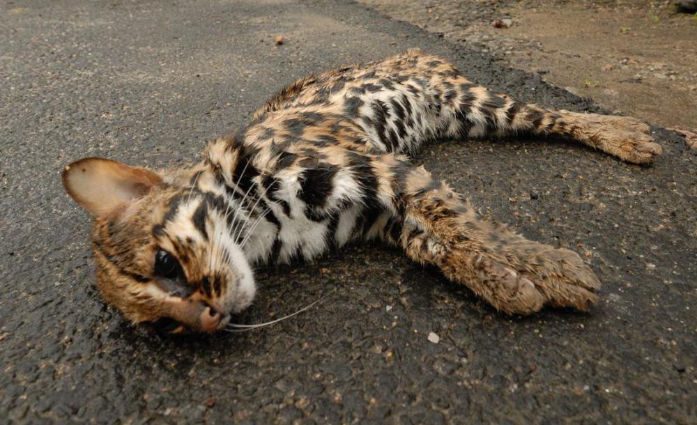 Так вот откуда сбежал леопард в Борисовке под Новороссийском