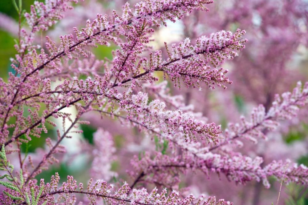 В Новороссийск возвращается розовое чудо – тамарикс