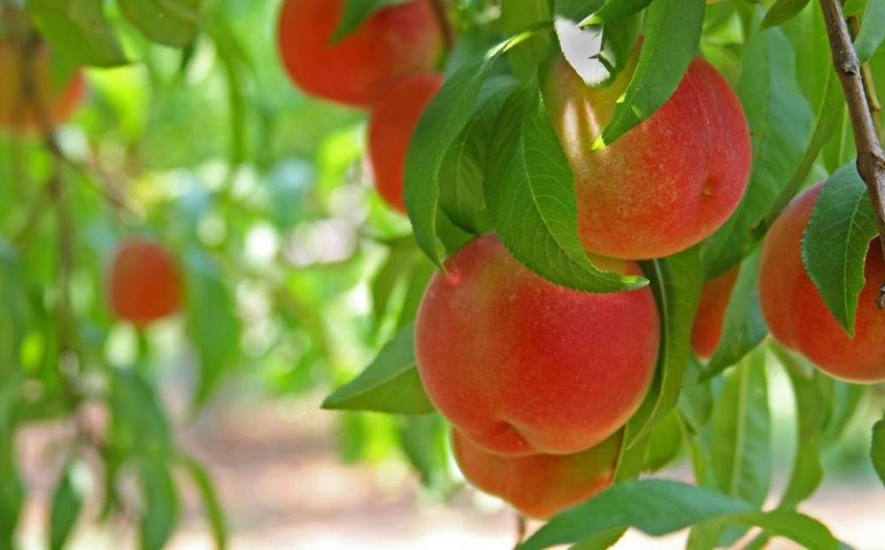 Персики у соседей Новороссийска – самые персикастые на побережье!