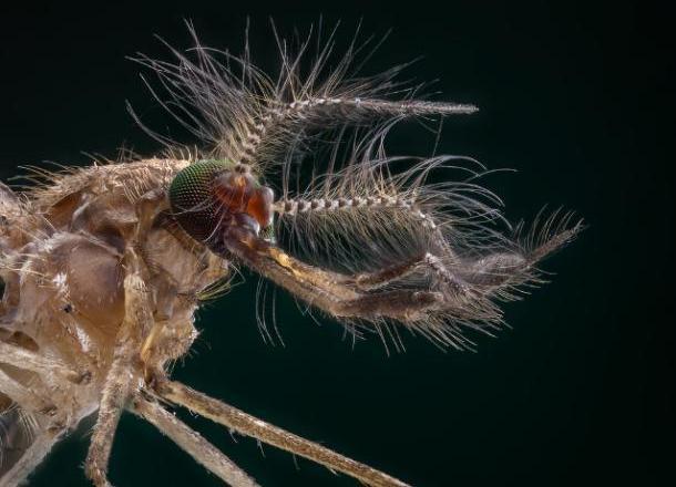 Новороссийску угрожают комары с менингитом
