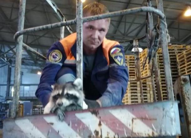 Несчастный енот 3 дня ждал спасения на Верхнебаканском цемзаводе