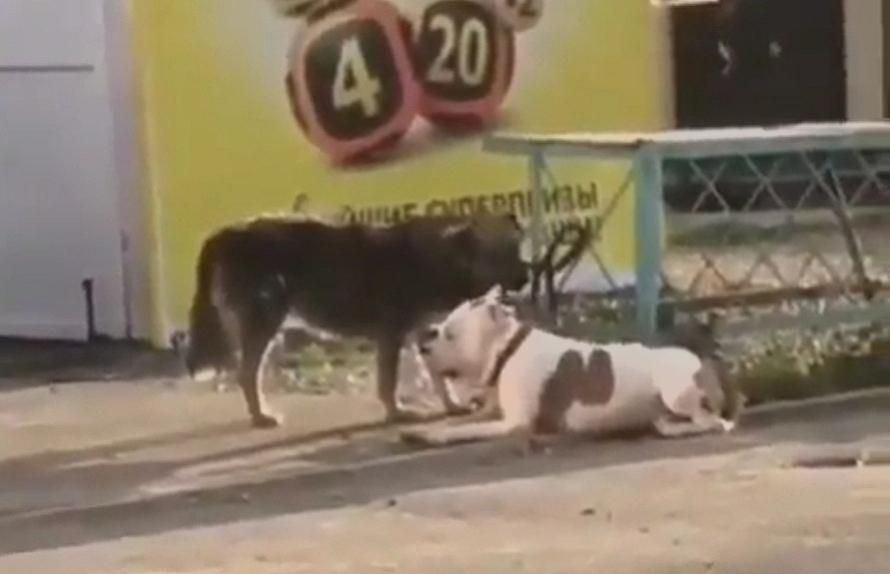 Дворняга похитила породистого пса: видео, покорившие федеральные каналы