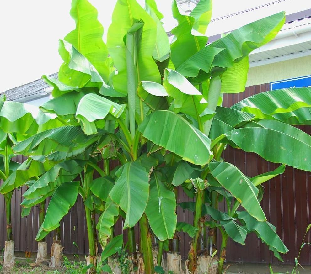 В соседней Анапе заколосились бананы