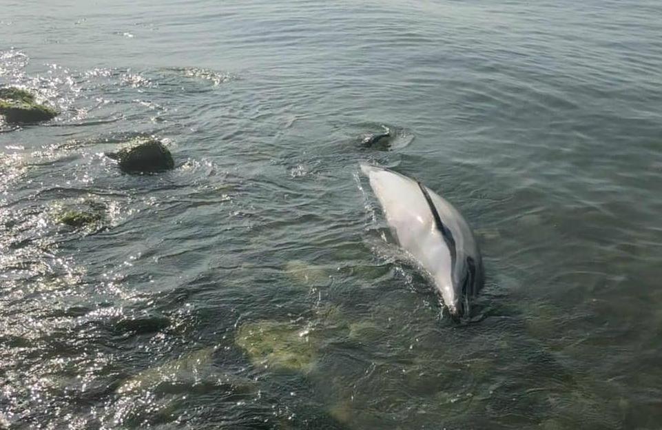 Смерть дельфинов на всем побережье от Анапы до Адлера никто не исследует