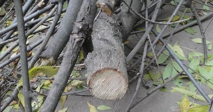 В центре Новороссийска вырубили четыре дерева, стоимость  которых равна цене дорогого автомобиля