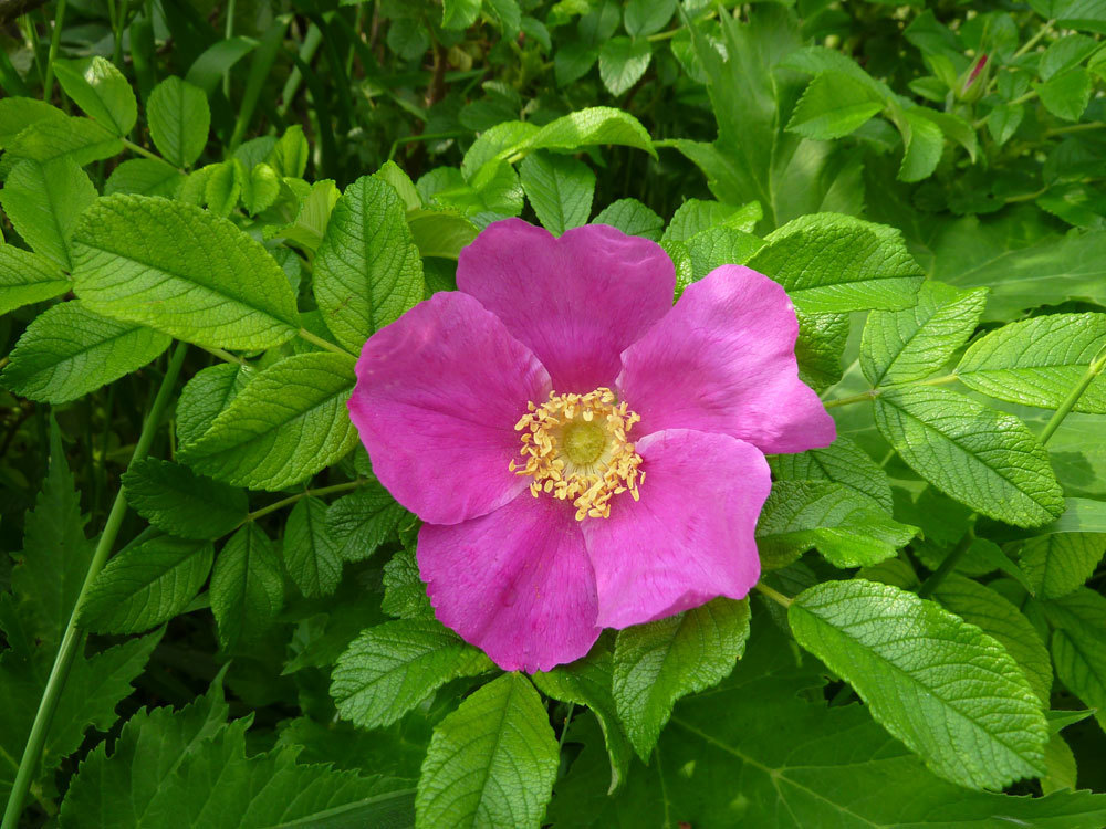 Теплая погода будет благоприятна для празднования цветения шиповника